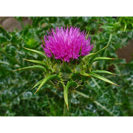 Milk Thistle Herbal Tea